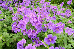 Violet geranium flowers along the path Royalty Free Stock Photos
