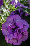 Violet geraniums 2 Royalty Free Stock Photos