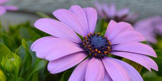 Violet Gerbera Daisy. With blue center, amber pollen, green foliage and flower bud, missing a petal royalty free stock images