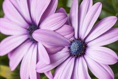 Violet gerbera daisy flower blossom Stock Images