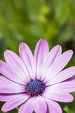 Violet gerbera daisy flower blossom Royalty Free Stock Photo