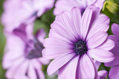 Violet gerbera daisy flower blossom Royalty Free Stock Image
