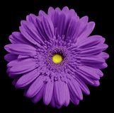 Violet   gerbera flower, black isolated background with clipping path.   Closeup.  no shadows.  For design. Royalty Free Stock Photos