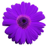 Violet gerbera flower, white isolated background with clipping path.   Closeup.  no shadows.  For design. Violet gerbera flower, white isolated background with Stock Photo