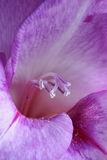 Violet gladiolus. There is a violet gladiolus in this macro photo Stock Images