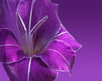 Violet gladiolus flower Royalty Free Stock Photo