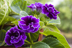 Violet gloxinia in brown pot Royalty Free Stock Photography
