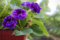 Violet gloxinia in brown pot Royalty Free Stock Photo