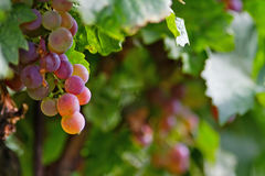 Violet grape cluster Stock Photo