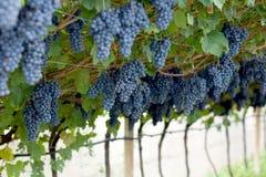 Violet grapes Stock Image