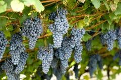 Violet grapes Royalty Free Stock Photo