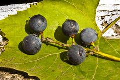Violet grapes Royalty Free Stock Photography