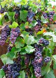 Violet grapes and leaves in countryside vineyard Royalty Free Stock Photo