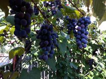 Violet grapes on the vine stock photos