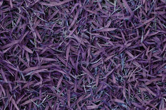 Violet grass Royalty Free Stock Image
