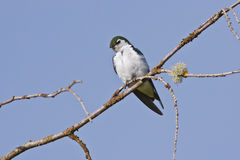 Violet green swallow Royalty Free Stock Photo