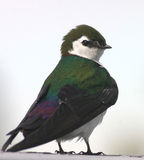 Violet-green Swallow. A male Violet-green Swallow against a bright background Stock Photo