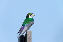 Violet-green Swallow - Male Royalty Free Stock Photo
