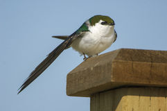 Violet-green Swallow (Tachycineta thalassina), Royalty Free Stock Photo