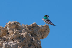 Violet-green Swallow (Tachycineta thalassina) perching on a clif Stock Image