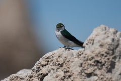 Violet-green Swallow (Tachycineta thalassina) perching on a clif Stock Photography