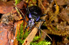 Violet ground beetle Stock Photography