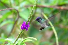 Violet-headed hummingbird in flight, Peru Royalty Free Stock Photos
