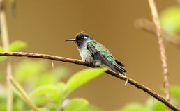 Violet-headed Hummingbird, Klais guimeti royalty free stock photo
