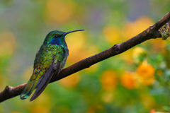 Violet hear hummingbird. Violet Ear Hummingbird perched on a branch with a colorful background Royalty Free Stock Image