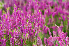 Violet heather. Field of violet and pink heather Stock Photos