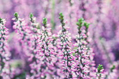 Violet Heather-Blumenfeld Calluna gemein Kleine rosa lila Anlagen, weißer Hintergrund Weicher Fokus kopieren Sie den flachen Raum Lizenzfreie Stockfotos