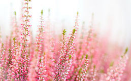 Violet Heather flowers field Calluna vulgaris. Small pink lilac plants, white background. soft focus. copy space shallow Stock Photography