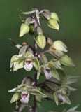 Violet Helleborine Orchid Stock Photography
