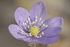 Violet Hepatica nobelis flower closeup Royalty Free Stock Photography
