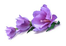 Violet hibiscus. Photo three hibiscus on the white background Stock Photography