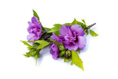 Violet hibiscus flower on branch isolated on white background royalty free stock photography