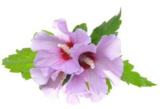 Violet hibiscus flowers with green leaves Stock Photos