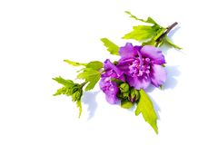 Violet hibiscus isolated on white background. Violet hibiscus isolated white background Royalty Free Stock Images
