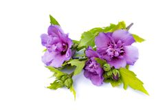 Violet hibiscus isolated on white background. Violet hibiscus isolated white background Stock Images