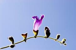 Violet horn flower. Grows under blue sky Stock Images