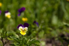 Violet horn in the spring garden royalty free stock images