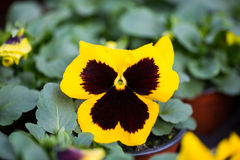 Violet hornveilchen,  in the gardening ,planting season,. Violet hornveilchen,  in the gardening period, planting season, spring, planting, seeds Stock Photo