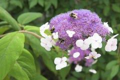 Violet hortensia - hydrangea macrophylla - laceap hydrangea Stock Image