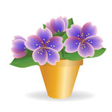 Violet. House plant. Royalty Free Stock Images