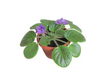 Violet. House plant - flower violet, in a pot on a white background Stock Photos