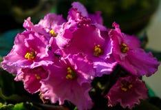 Violet houseplant Stock Images