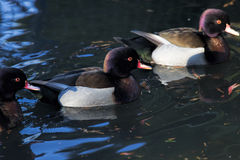 Violet hue tufted ducks Stock Photography