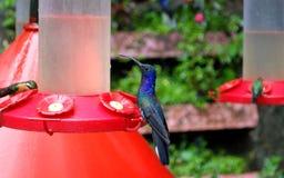 Violet Hummingbird Royalty-vrije Stock Foto's