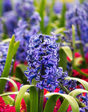 Violet hyacinth. Hyacinth in a colorful garden with strong chromatic contrast Royalty Free Stock Photos