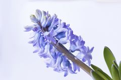 Violet hyacinth flowers in pot. Violet hyacinth blooming flowers in pot royalty free stock image
